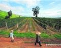 缅甸山区葡萄酒业有待发展