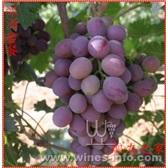 20斤紅葡萄酒釀酒套餐