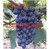 現摘自釀葡萄酒葡萄