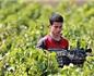 比利时学者:阿尔及利亚促成欧洲葡萄酒产区体系建立