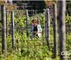四月南法——从冬日苏醒的葡萄藤