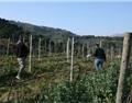 葡萄品种中的隐秘教导