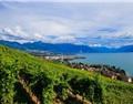 瑞士拉沃梯田式葡萄园即将迎来丰收季