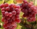 葡萄病害防治的六大误区