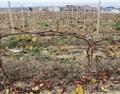 北方葡萄种植的冬季管理技术