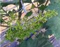 葡萄花期如何管理?抓好下面几个方面!