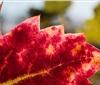 加州科学家发现一种携带致命葡萄树病毒的昆虫