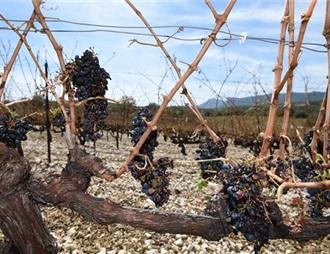 法国葡萄酒产量因气象灾害下降
