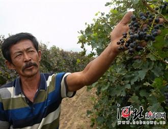 河北怀来酿酒葡萄价格大幅下滑