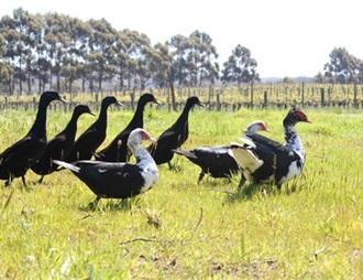 西澳葡萄园使用鸭子灭蜗牛