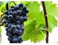 最全的夏黑葡萄管理技术要点