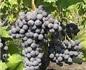 探索希腊纳乌萨葡萄酒产区