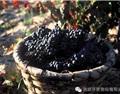 里奥哈2016年葡萄收成:卓越的品质和产量
