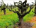 王德惠:值得岁月品味的葡萄老藤,竟如此震撼!