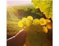 Scheurebe,德国小众葡萄品种的100周年