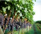 巴西酒庄看好中国葡萄酒市场前景