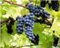 Baco Noir 和Marechal Foch,加拿大的标志性葡萄品种?