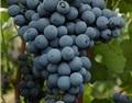 马瑟兰:中国葡萄酒的明日之星