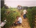 朱利安:降雨量对葡萄生长的影响