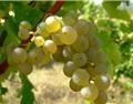 一句话概括24大常见葡萄品种的特点