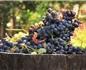 天气原因使阿根廷2016年葡萄酒产量下降29%