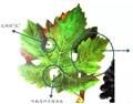 秦岭:看叶子就能知道葡萄品种?!下次可以去葡萄园装X了……