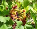 葡萄幼果期水肥管理:你要做好这六点