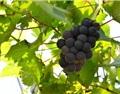 葡萄落果的原因及解决办法