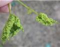 葡萄藤的种植为什么需要砧木?