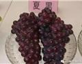 三种栽培模式下夏黑与寒香蜜葡萄的生物学表现调查