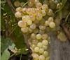 个性鲜明与众不同的玛珊Marsanne葡萄
