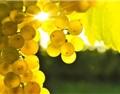 葡萄减产,会带来葡萄酒危机吗?