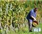 荷兰酒评家预言欧洲葡萄酒价格明年将普遍上涨