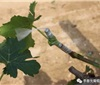 详谈酿酒葡萄栽培管理
