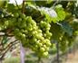 荷兰葡萄酒酿造水平大幅提高