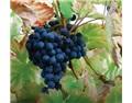 伟大的葡萄品种——Mataro