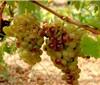 7个角度解析法国南部的天然甜葡萄酒