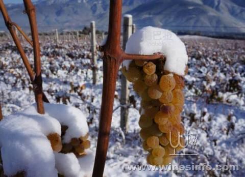 云南迪庆立足资源做强冰葡萄产业
