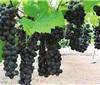 海南葡萄实现商业化种植 将发展热带葡萄酒加工产业
