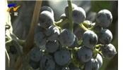 酿葡萄酒到底需要多少葡萄?