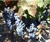 新研究表明葡萄藤抗旱能力强 但干旱对产量影响大