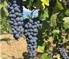 澳大利亚经典红葡萄品种,难道是它?