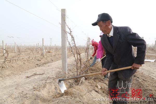新疆和硕10万亩酿酒葡萄出土上架全面展开