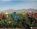 探访宁夏:中国的酿酒先锋们