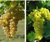 玫瑰香(Muscat Hamburg):最好吃的酿酒葡萄