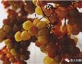 风干葡萄酒:从意大利Passito说起