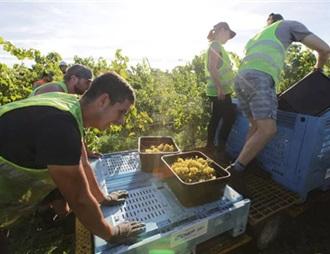 新西兰2018年葡萄收成报告