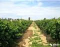 陆江:中国最西的葡萄酒产区伊犁河谷