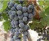 宁夏葡萄酒产区正高速发展