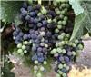 转色期间的葡萄,都经历了些什么?